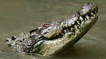 krokodyl (zdj. ilustracyjne)