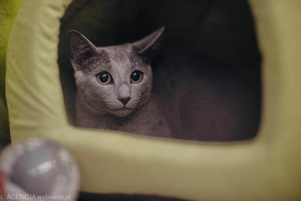 Wystawa kotów to jak zwykle okazja, by obejrzeć najpiękniejsze koty mniej i bardziej popularnych ras.