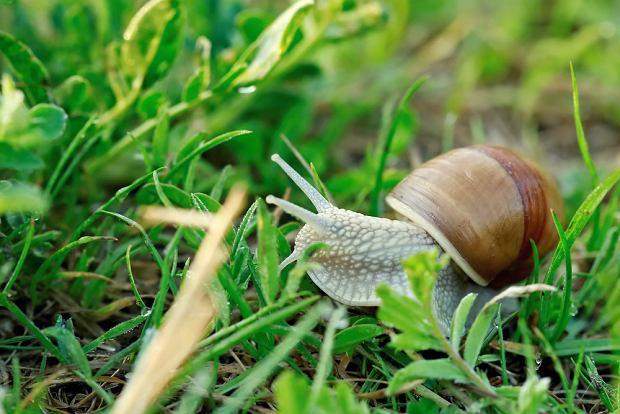 Mięso ślimaków ma niską wartość energetyczną: 100 g tkanki mięśniowej winniczka to średnio 52 kalorie