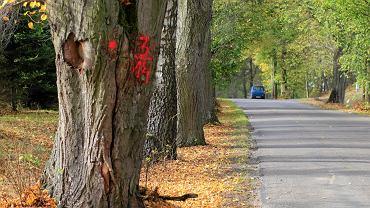 Drzewa przydrożne na drodze Dywity - Barkweda przeznaczone do wycinki