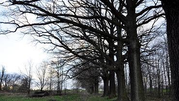 Drzewa w Alei Dębów mają być częściowo wycięte