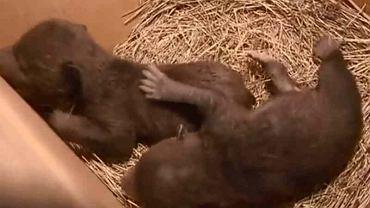 Poszedł wyrzucić śmieci, znalazł dwa niedźwiadki |