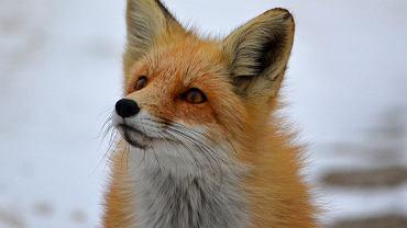 Lisy to jedne ze zwierząt, które wykorzystuje się do produkcji futer