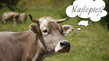 Krowa z regionu Appenzell