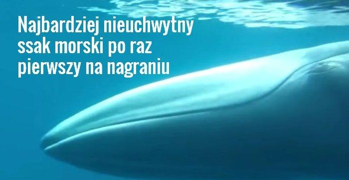 Płetwal skryty