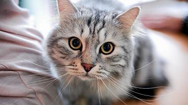 I i II Międzynarodowa Wystawa Kotów Rasowych w Bydgoszczy zakończyła się w niedzielę (29 kwietnia). Odbyła się w hali sportowej SP 67 w Fordonie. Wystawę zorganizował po raz pierwszy Cat Club Animals Bydgoszcz. Przyciągnęła rodowodowe kocury i kotki  z odległych stron. Wystawa trwała dwa dni. W niedzielę odwiedziła ją nasza fotoreporterka - Grażyna Marks, która uwieczniła wybrane kocie piękności.