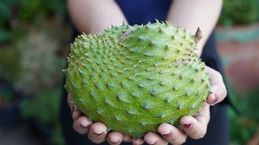 Graviola, znana również jako guanabana oraz flaszowiec miękkociernosty, to roślina pochodząca z Ameryki Łacińskiej, gdzie jej właściwości lecznicze są znane od wielu lat