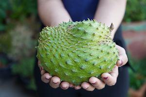 Graviola - co to za roślina i jakie są jej właściwości lecznicze?