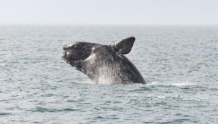 Widok olbrzymów wyskakujących z wody, a następnie uderzających o jej taflę z grzmiącym pluskiem zapiera dech w piersiach (fot. NOAA Fisheries)