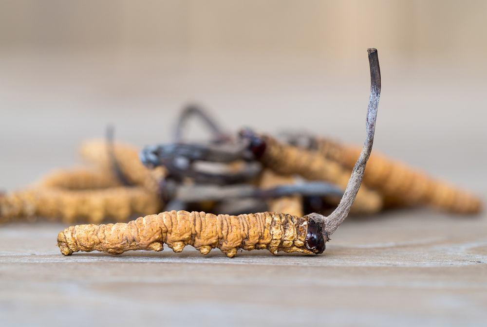 Grzyb pasożytniczy Ophiocordyceps sinensis, zwany też grzybem gąsienicowym