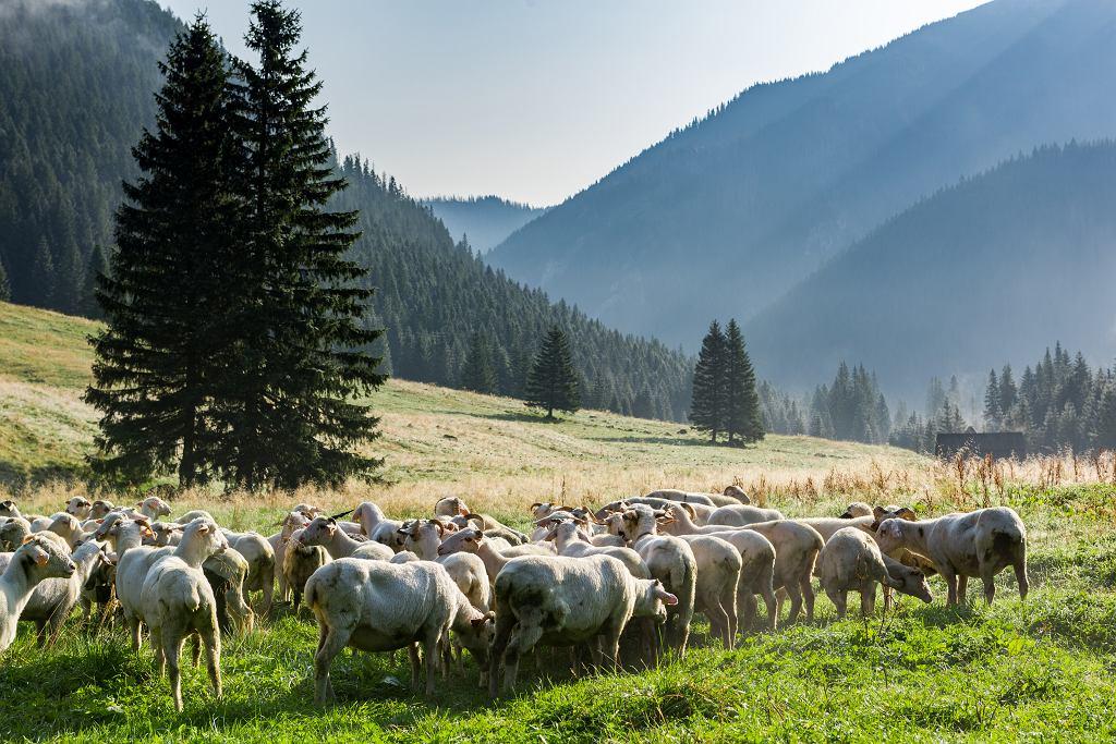 Owce wypasa się w sposób naturalny.