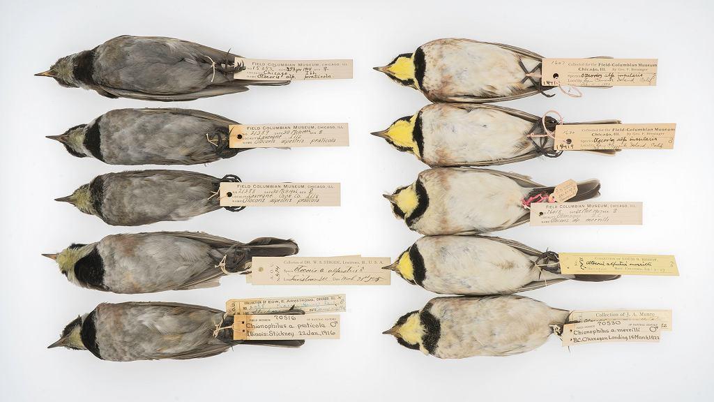 Porównanie ptaków sprzed 100 lat