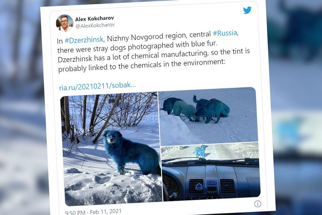 Rosja. Niebieskie psy na ulicach. Ich sierść zmieniła kolor. Dlaczego?