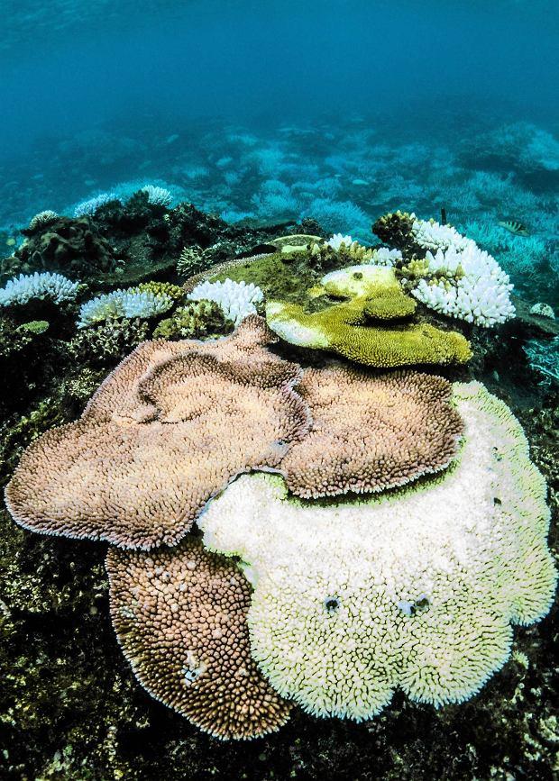 Koral datowania węgla