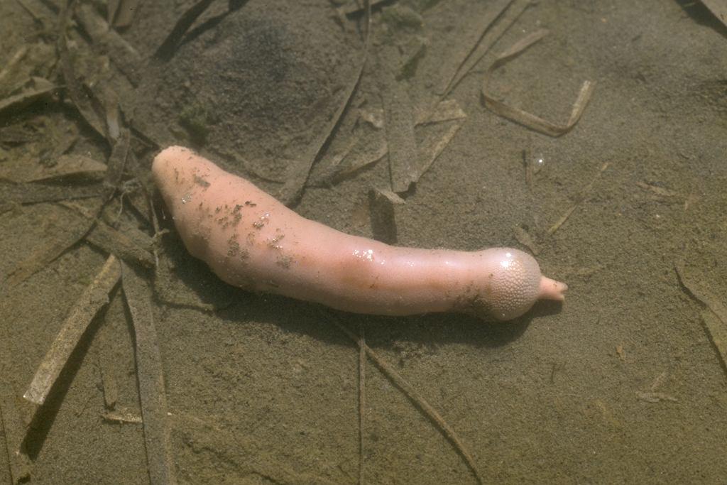 Urechis caupo. Zdjęcie ilustracyjne