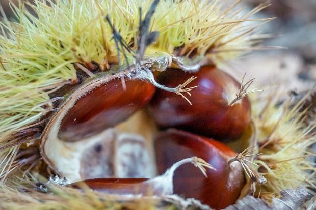 Owoc kasztana jadalnego (Castanea sativa)