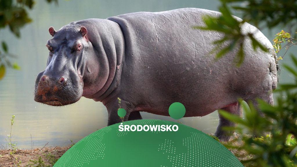 Hipopotam - zdjęcie ilustracyjne