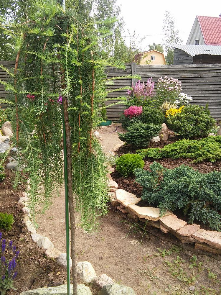Ozdobne drzewka do ogrodu - modrzew japoński. Zdjęcie ilustracyjne
