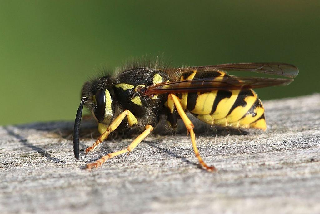 Osa i pszczoła są do siebie bardzo podobne, jednak to te pierwsze są dla nas groźne. Co robić, gdy użądli nas osa?