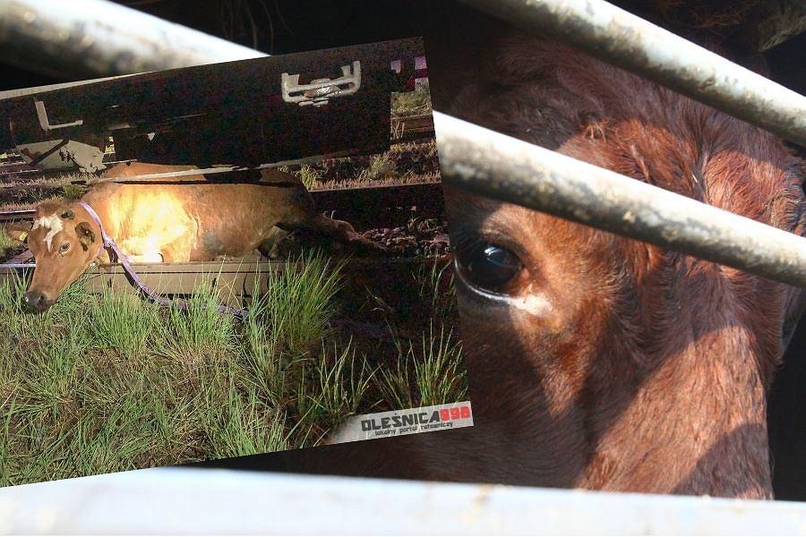 Dolnośląskie. Pociąg potrącił dwie krowy. Zwierzęta utknęły pod wagonem - niezbędna była interwencja straży