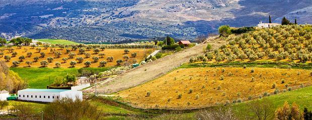 Gaje oliwne w Andaluzji - południowa Hiszpania/ fot. shutterstock