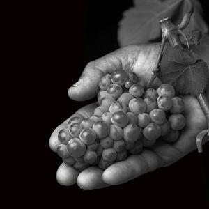 Sauvignon blanc, czyli kultura szybkich spełnień
