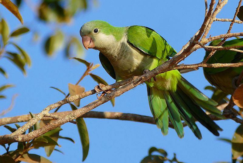 Papuga z gatunku mnicha (zdjęcie ilustracyjne)