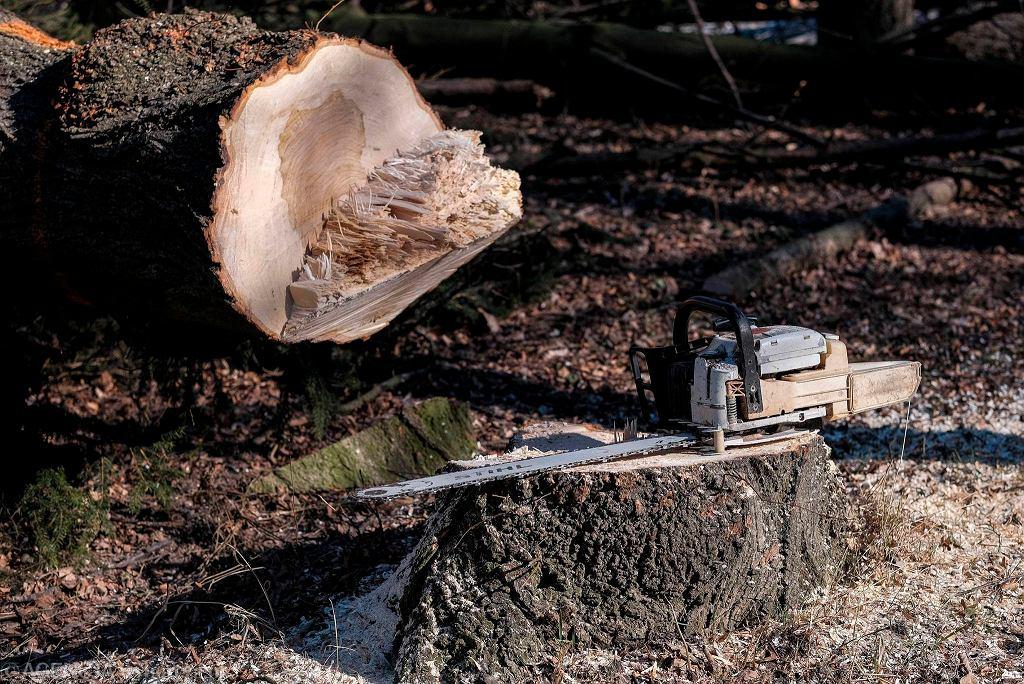 Ścięte drzewo (zdjęcie ilustracyjne)