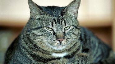Koty domowe mogą być narażone zarażeniem koronawirusem
