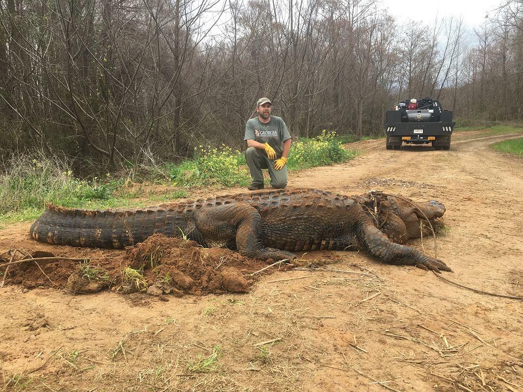 Ogromny aligator odnaleziony w stanie Georgia
