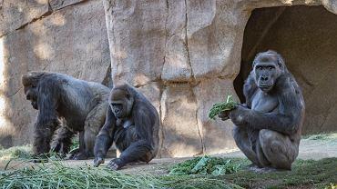 USA. Osiem goryli zakażonych koronawirusem. Zwierzęta mają łagodne objawy
