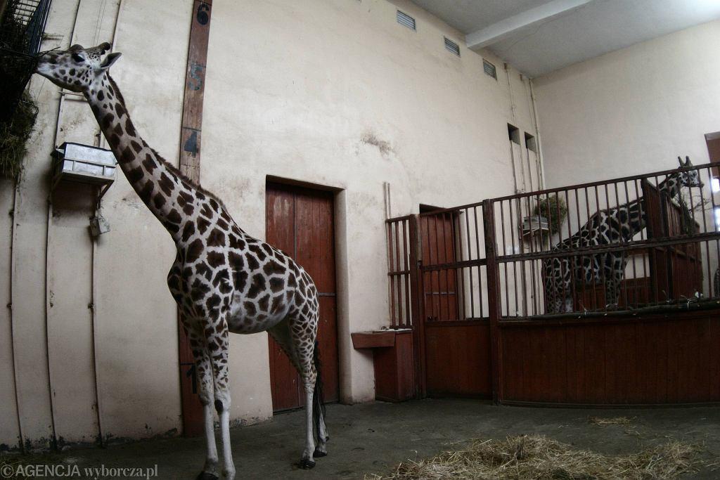 Żyrafa w warszawskim ZOO. Zdjęcie ilustracyjne