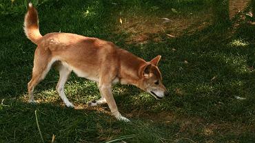 Śpiewający pies z Nowej Gwinei.