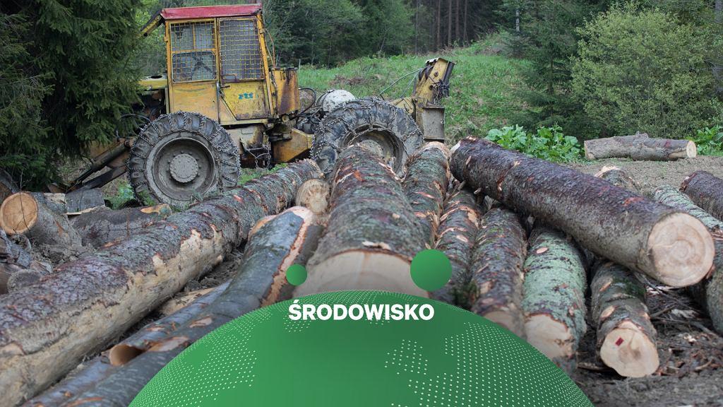 Wycinka organizowana przez Lasy Państwowe