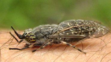 Giez, bąk, mucha końska, a tak naprawdę jusznica deszczowa to owad, którego samice atakują ludzi od maja do października