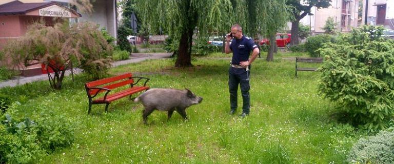 Legnica. Dzik zjadł dzieciom pierogi. Interweniowali policjanci