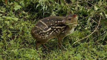 Myszojeleń trafił do warszawskiego zoo. Arnold waży niecałe 2 kilogramy