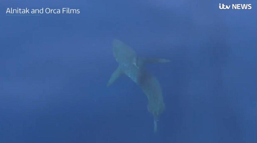 Żarłacz biały u wybrzeży Majorki
