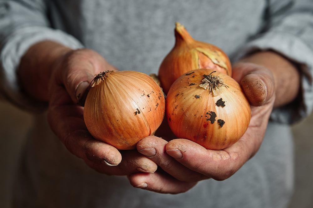 Cebula zwyczajna. Właściwości lecznicze jednego z najpospolitszych warzyw w kuchni. Zdjęcie ilustracyjne