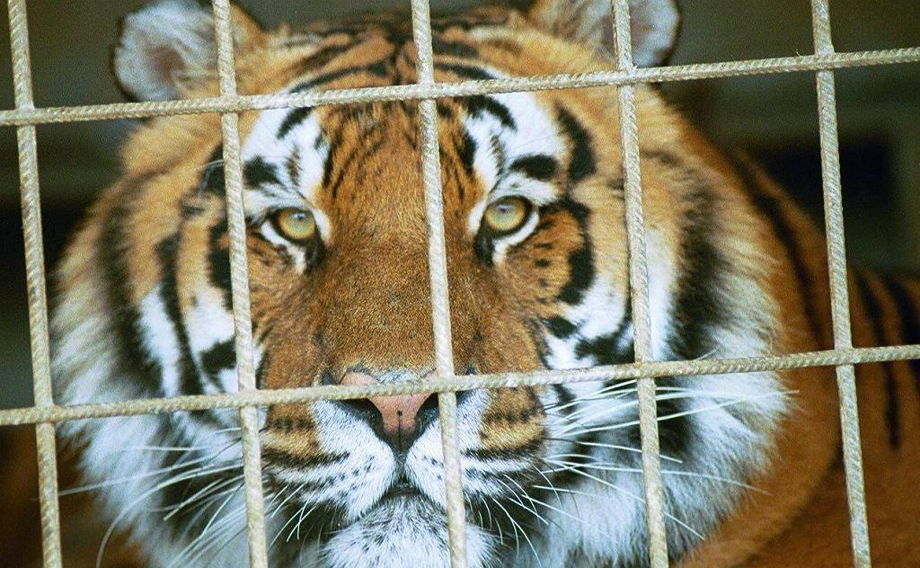 Tygrys.