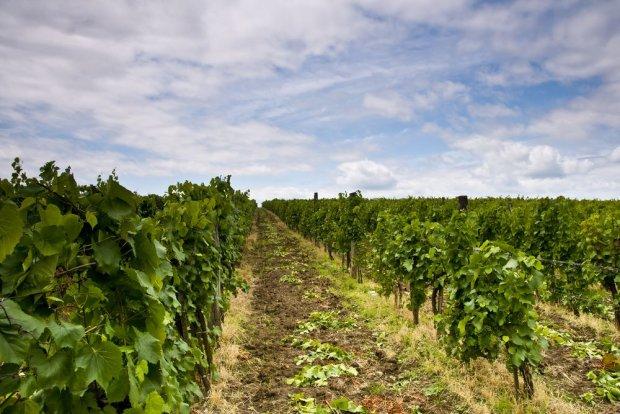Winnice w Egerze / Fot. Shutterstock