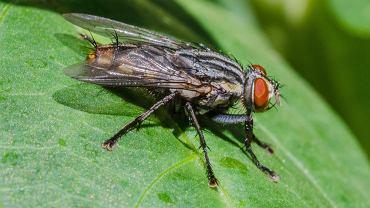 Naukowcy zbadali, czy owady doświadczają bólu chronicznego. Okazało się, że tak. To może pomóc im opracować nowe metody leczenia.