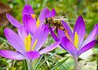 Dostęp do brudnej wody i ogród pełen różnych roślin. Jak możesz pomóc pszczołom