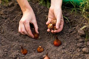 Sadzenie tulipanów krok po kroku. Kiedy sadzić tulipany, gdzie i jak?