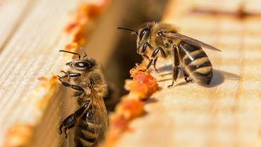 Pierzga: pokarm pszczół i źródło zdrowia dla ludzi. Zdjęcie ilustracyjne