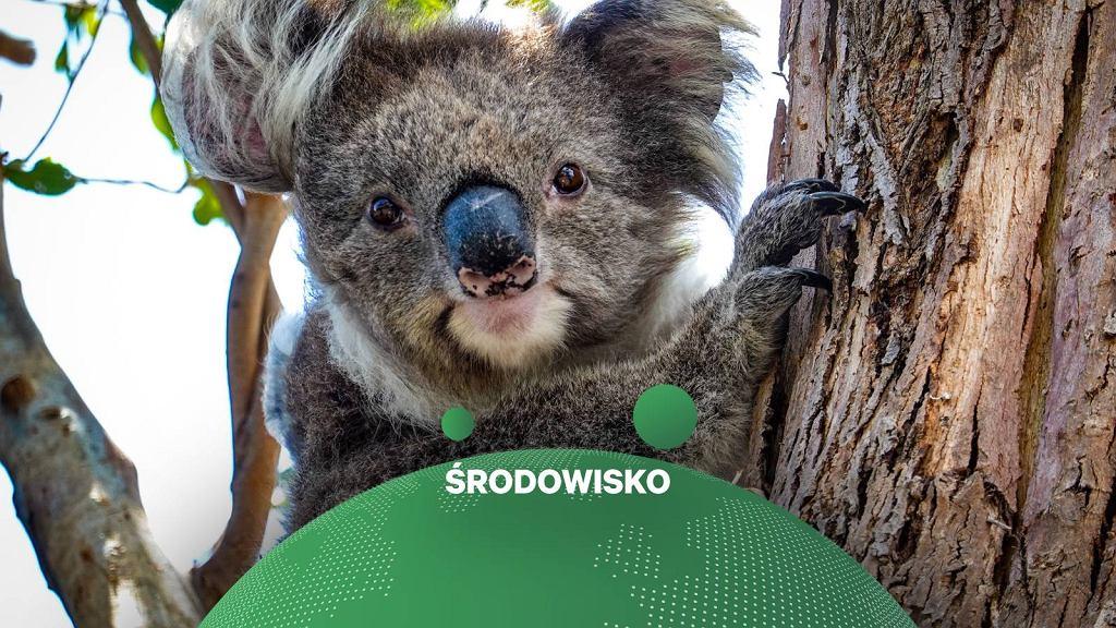 Według danych WWF Australia koale wyginą do 2050 roku.