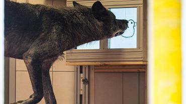 Wilk dotyka nosem ekranu, żeby otworzyć pojemnik z jedzeniem w sąsiedniej klatce