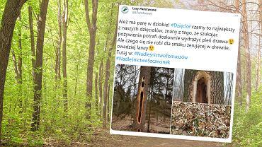 W Nadleśnictwie Tomaszów zauważono wielkie dziury w drzewach
