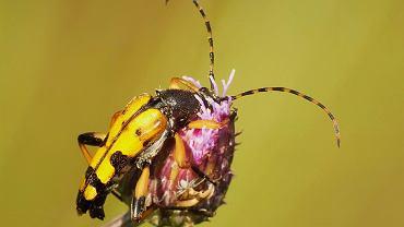 Strangalia plamista jest jednym z wielu chrząszczy kózkowatych, jakie pojawiają się na kwiatach w miastach. W tym wypadku na oście.