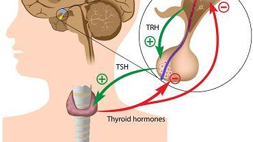 Najsłynniejsze hormony.